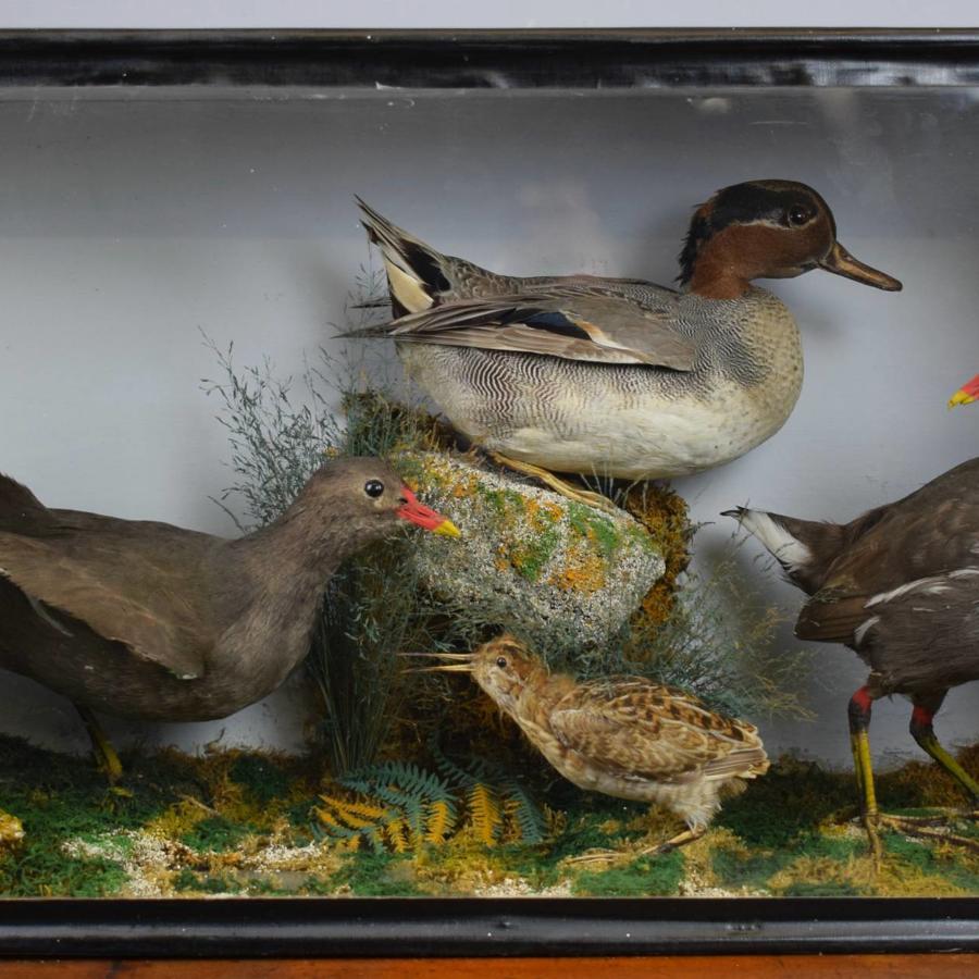 Edwardian Cased Display of Taxidermy Birds