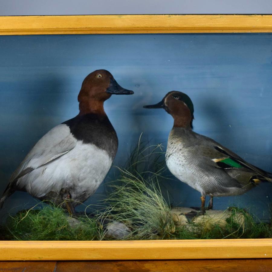 Edwardian Taxidermy Group of Ducks - Teal & Pochard