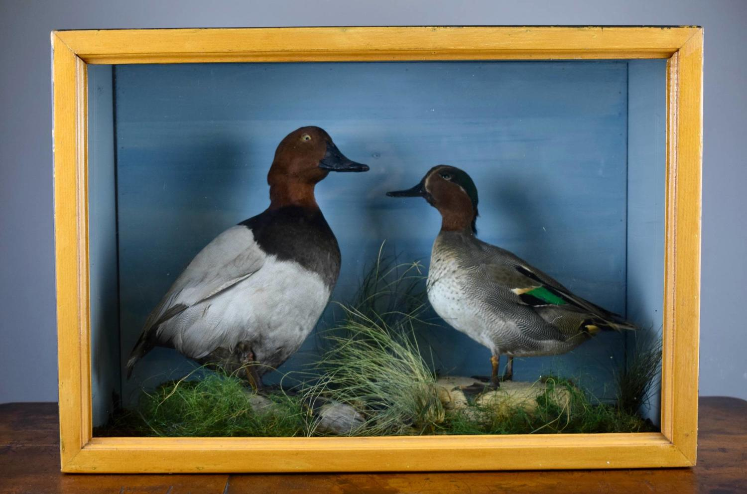 Edwardian Taxidermy Group of Ducks - Teal & Pochard