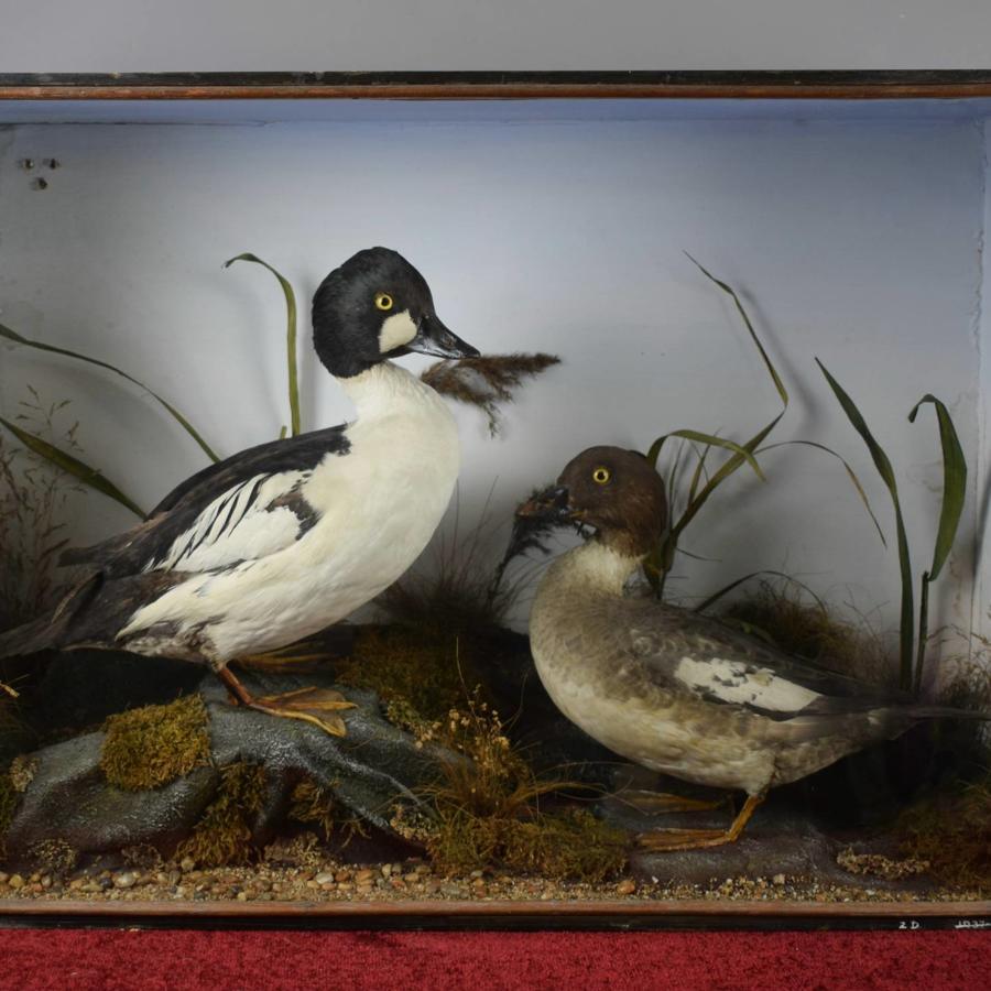Edwardian Cased Taxidermy Ducks