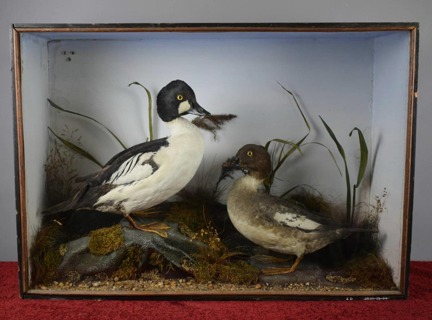 Edwardian Cased Taxidermy Ducks