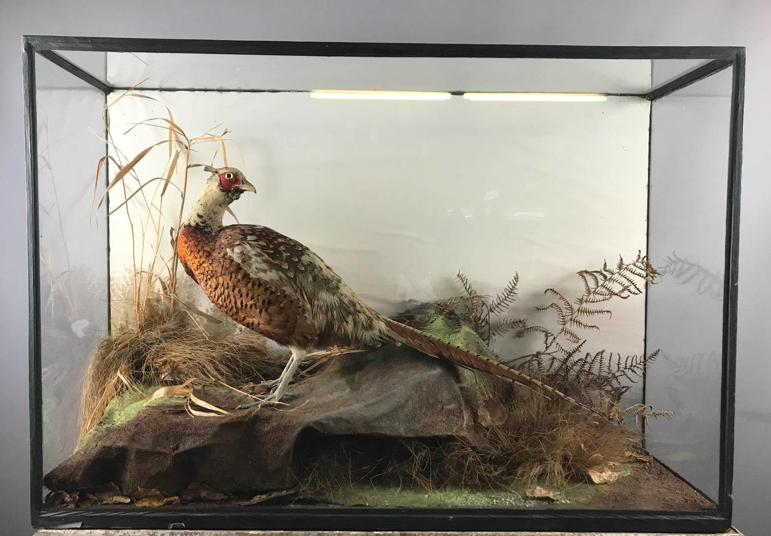 Cased Taxidermy of a Cock Pheasant