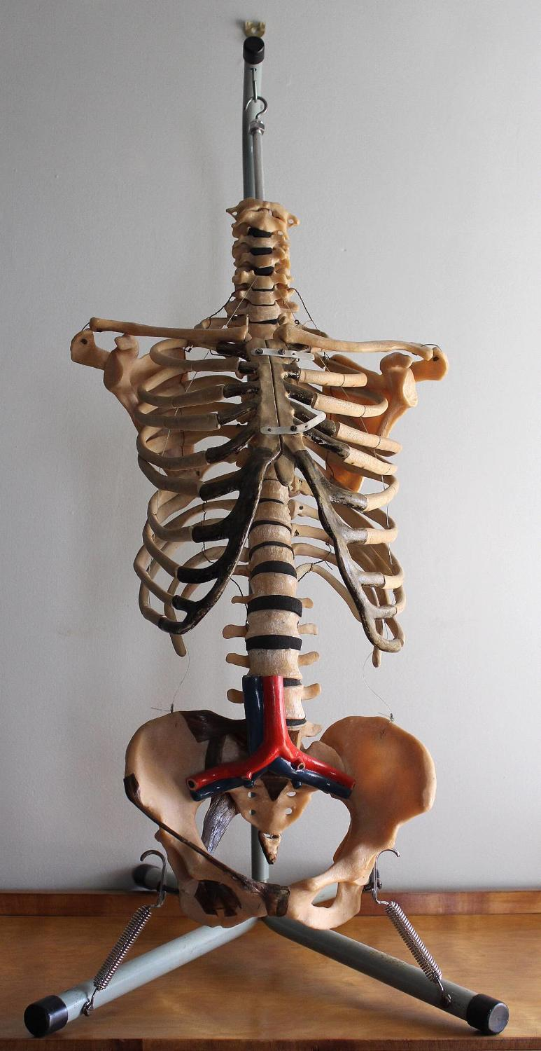 Vintage Anatomical Skeleton Torso