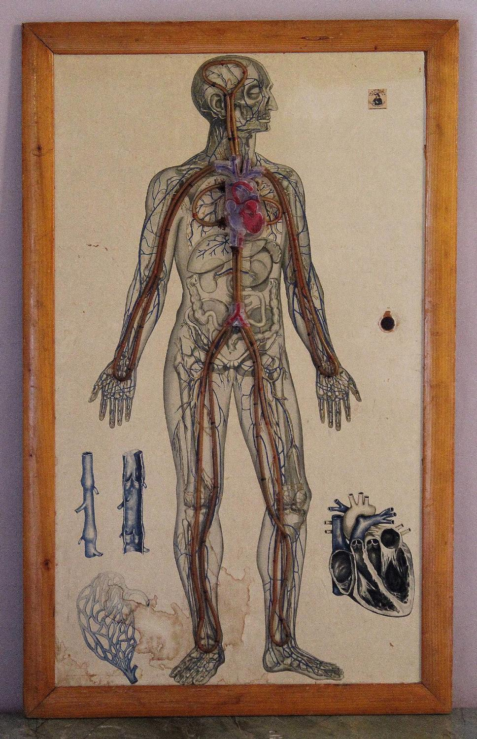 Vintage Educational Anatomical Poster
