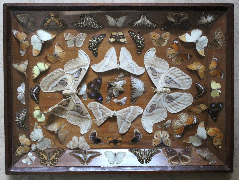 Edwardian Cased Display of Butterflies & Moths