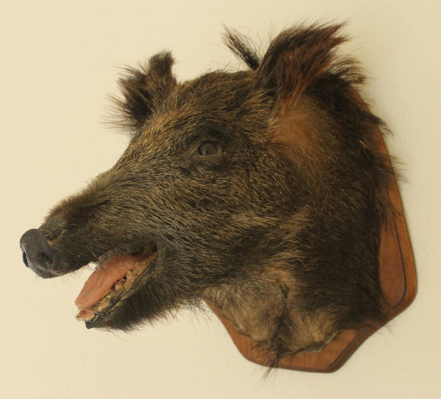 Taxidermy - A Stuffed & Mounted Boar`s Head