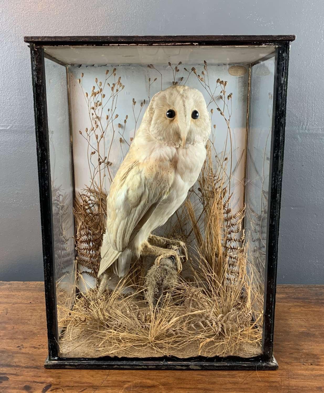 Victorian Taxidermy Barn Owl